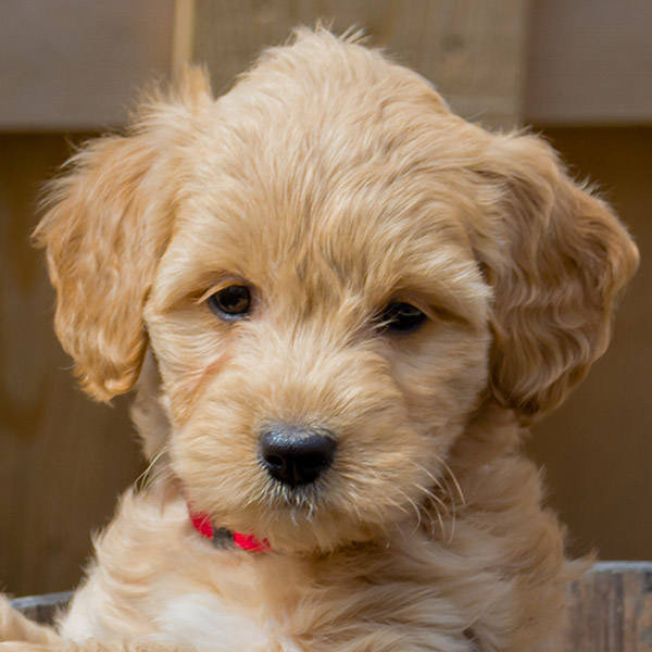 goldendoodle puppies for sale iowa